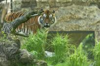 Tiger MG 070613 (1) bearb